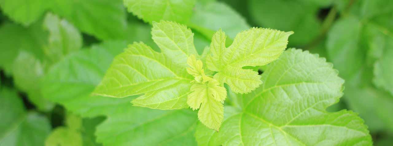 トヨタマ健康食品株式会社の原料桑の葉エキス末(国産)、商品名DNJエキスパウダーPRM