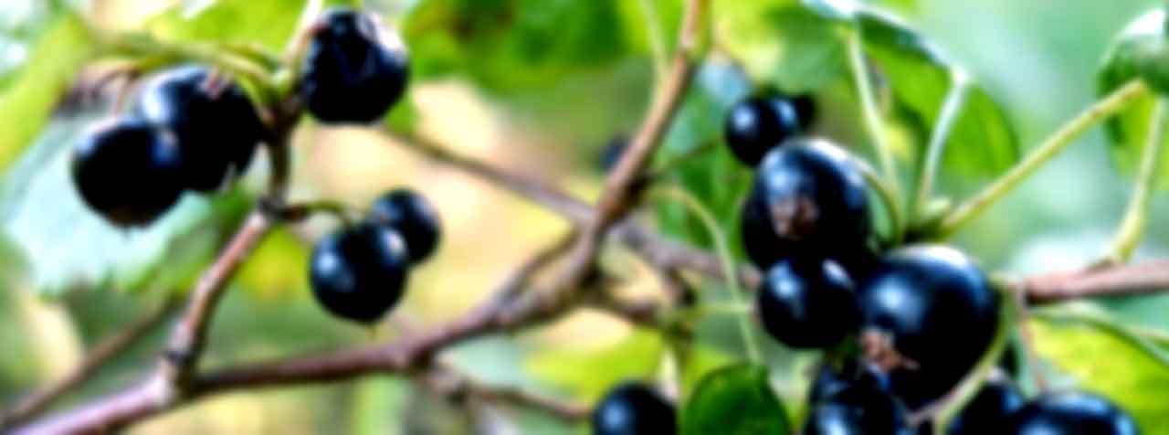 株式会社FAPジャパンの原料ブラックカラント抽出物,カシス抽出物、商品名ブラックカラントエキスパウダー35%