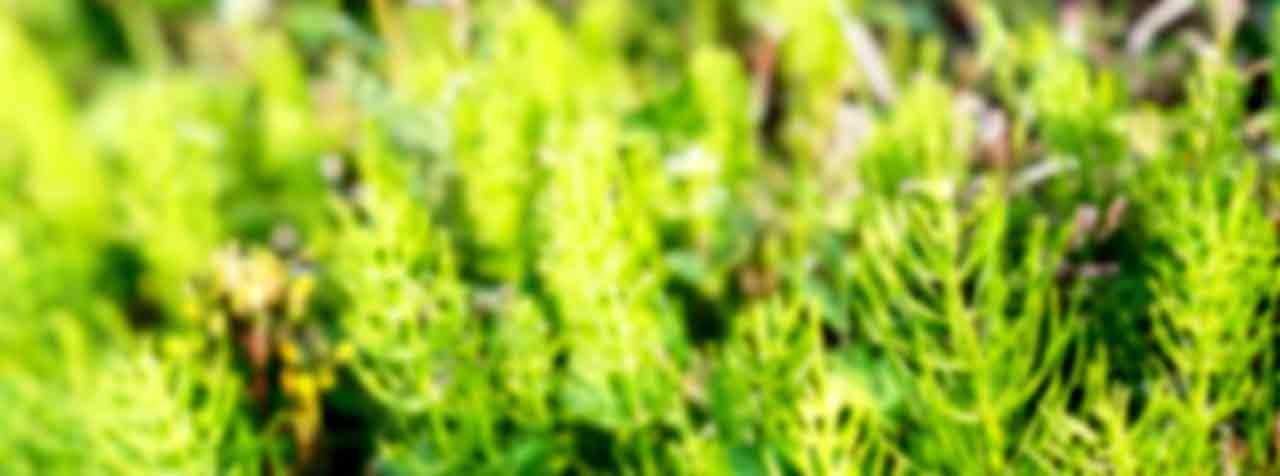 株式会社FAPジャパンの原料トウゲシバ抽出物(全草由来)、商品名千層塔抽出物(JS)