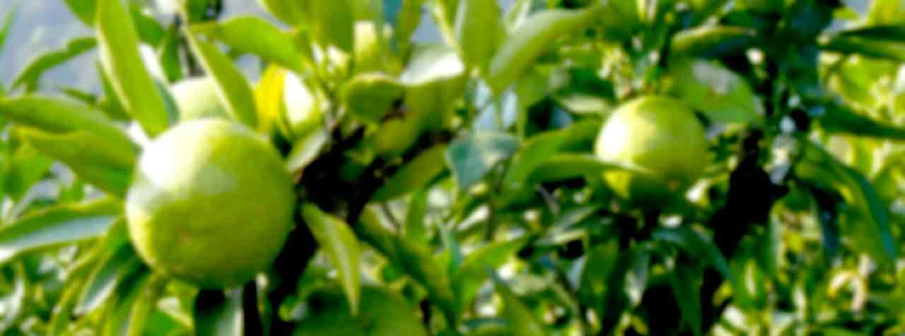 日本バルク薬品株式会社の原料ジャバラ果皮粉末