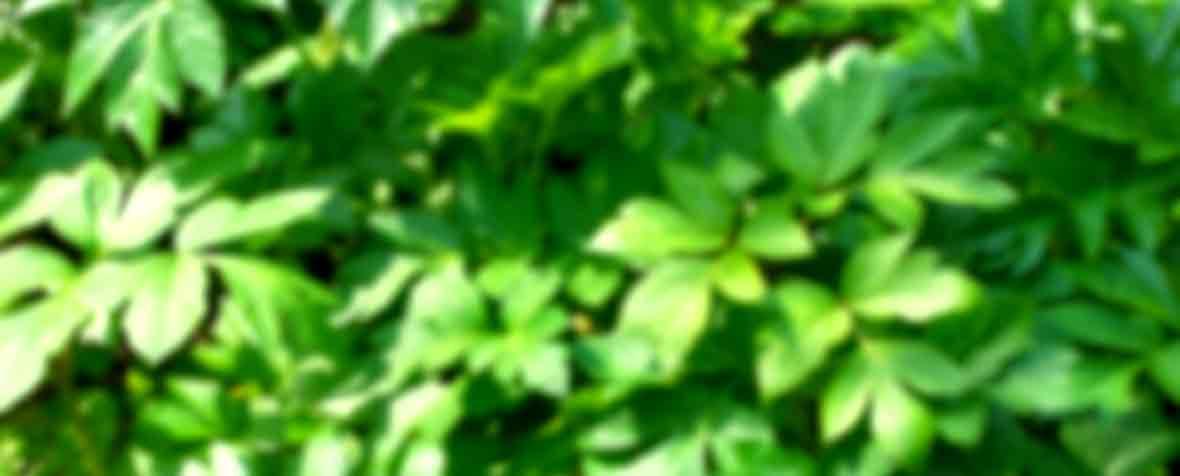 株式会社日本生物.科学研究所の原料明日葉粉末、商品名あした葉パウダー