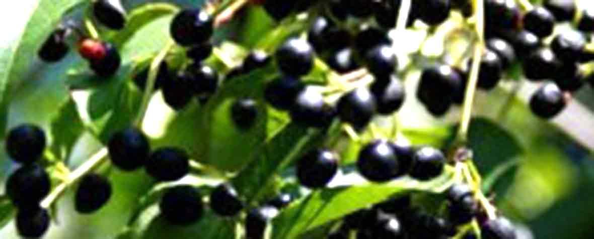 株式会社アルファリンクの原料マキベリー濃縮果汁パウダー