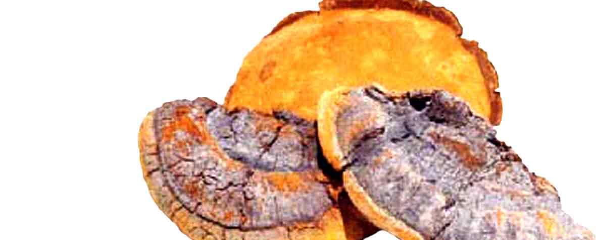 チハヤ株式会社の原料メシマコブ子実体細胞壁破砕末、商品名メシマコブ子実体細胞壁破砕滅菌末