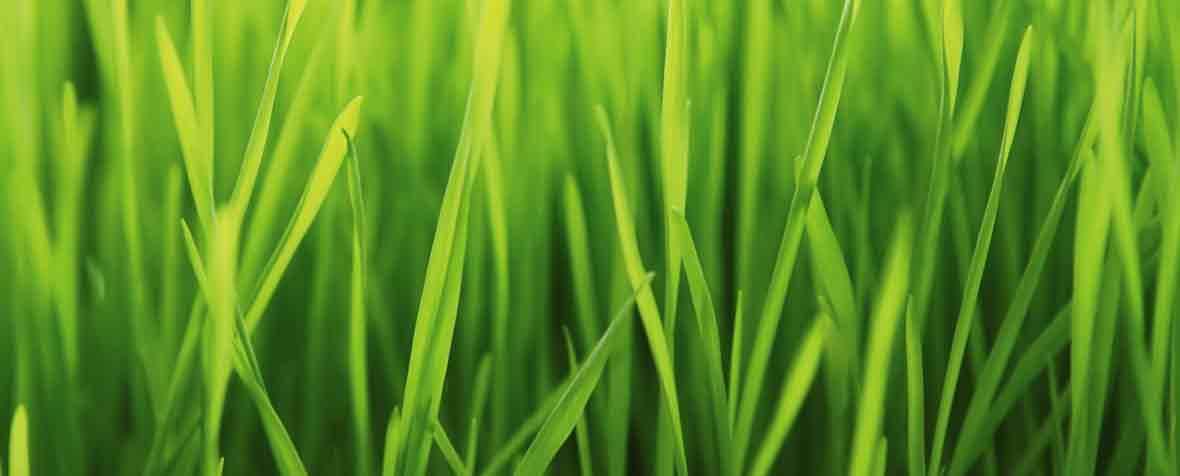 フロンティアフーズ株式会社の原料有機大麦若葉粉末