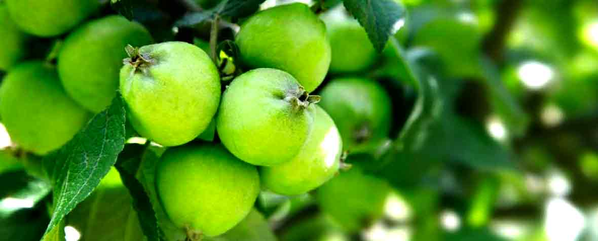 フロンティアフーズ株式会社の原料リンゴポリフェノール粉末
