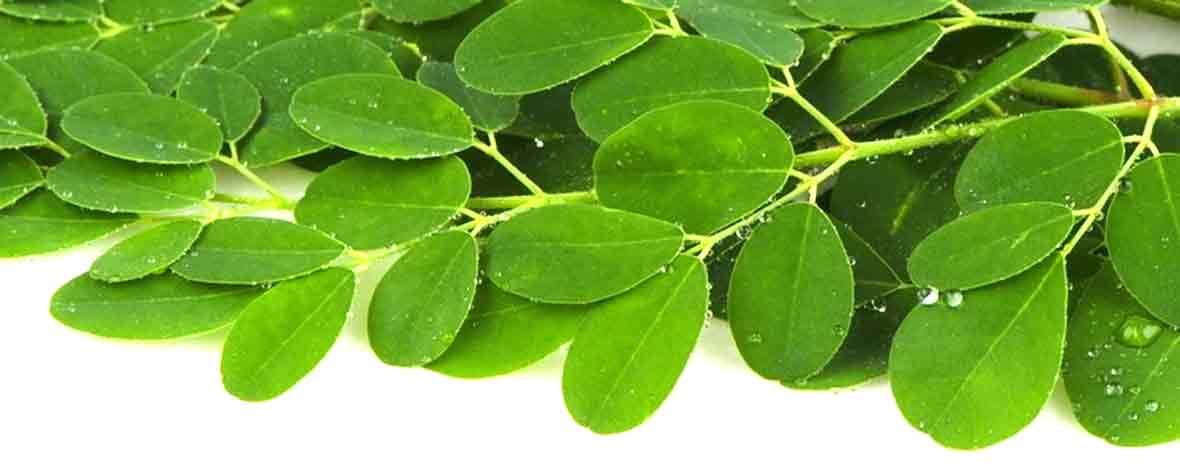 フロンティアフーズ株式会社の原料モリンガ葉粉末、商品名モリンガ殺菌粉末