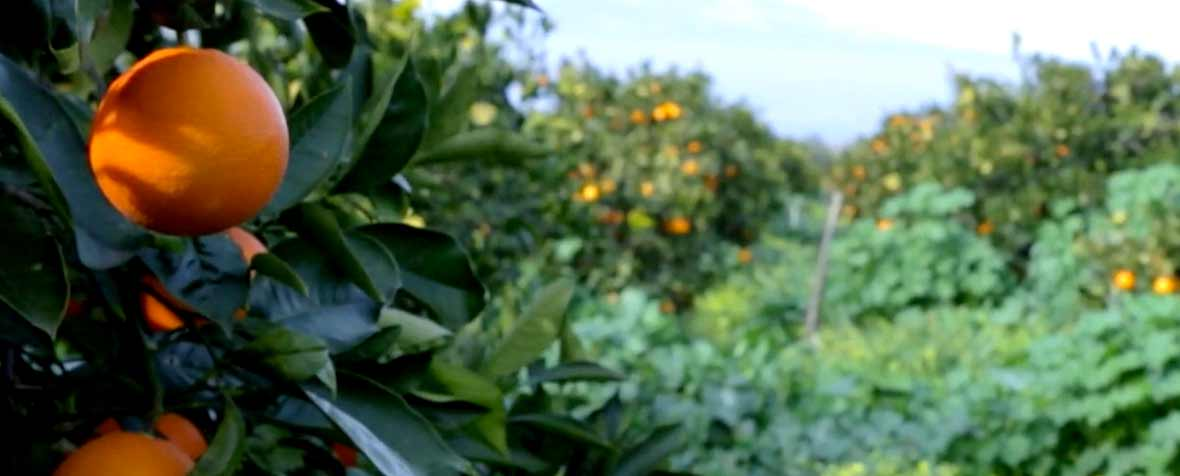 IMCDジャパン合同会社の原料シチリアレッドオレンジエキス末、商品名MOROSIL