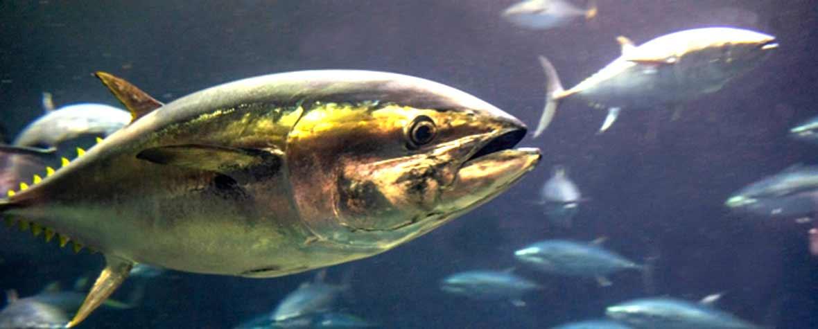 株式会社ケニーの原料DHA含有精製魚油、商品名REFINE DHA 25