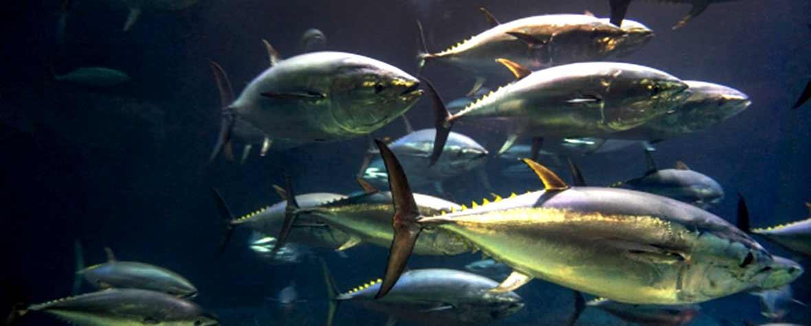 株式会社ケニーの原料DHA含有精製魚油、商品名REFINE DHA 27