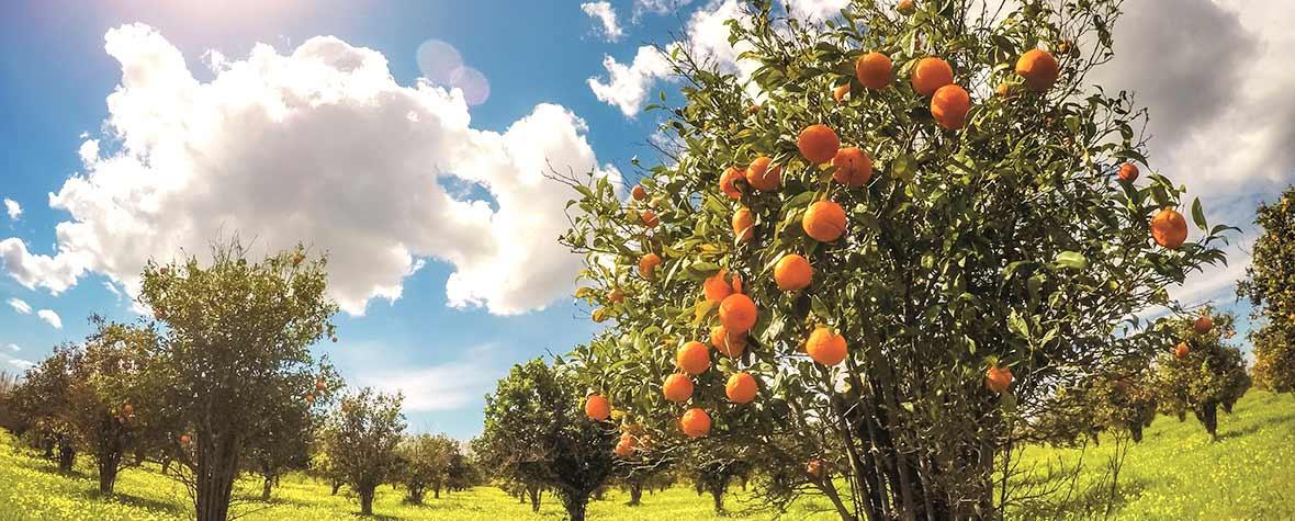 株式会社エヌ・シー・コーポレーションの原料レッドオレンジ抽出物、商品名レッドオレンジコンプレックスH