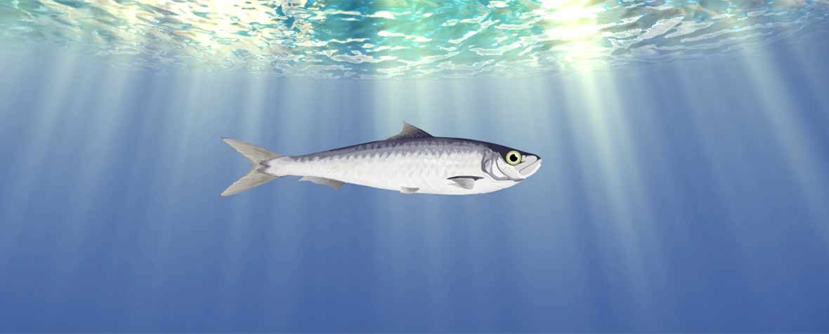 株式会社エヌ・シー・コーポレーションの原料DHA含有精製魚油、商品名DHA ALGATRIUM 70%