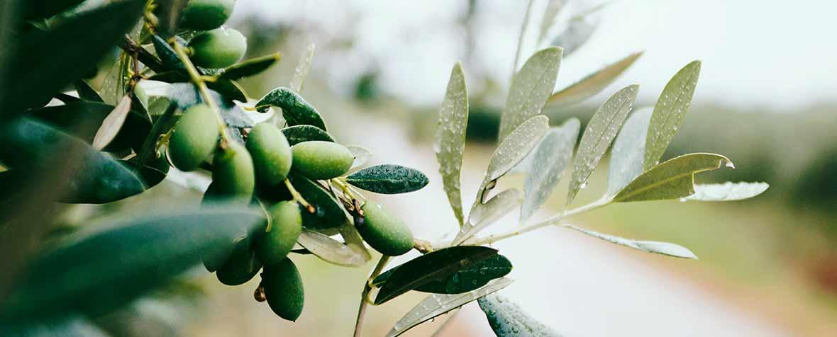 株式会社エヌ・シー・コーポレーションの原料オリーブ果実抽出物、商品名ハイトリーブシロップ