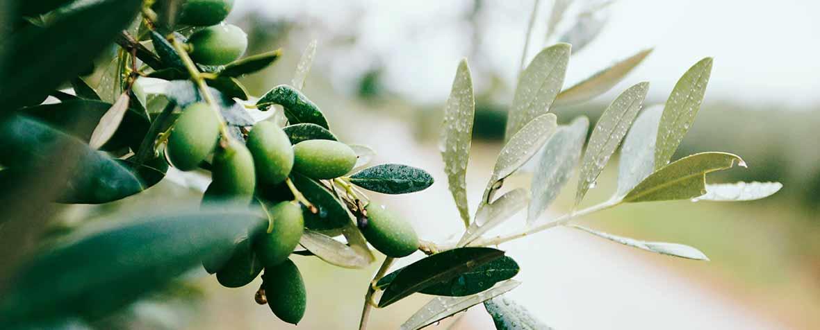 株式会社エヌ・シー・コーポレーションの原料オリーブ果実抽出物、商品名ハイトリーブパウダー
