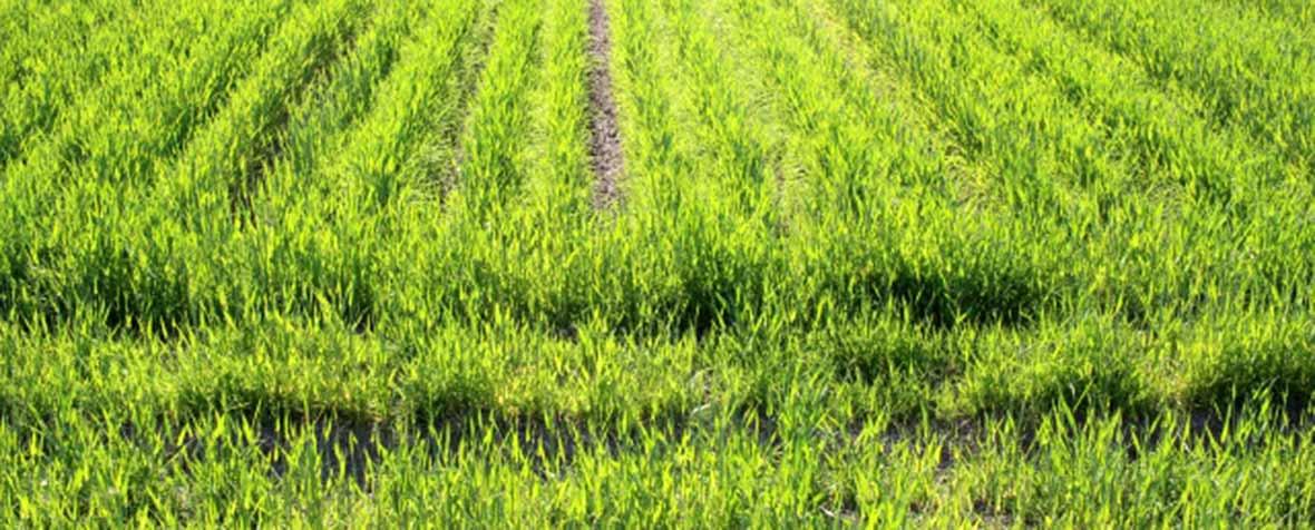 株式会社エヌ・シー・コーポレーションの原料大麦若葉粉末、商品名国産二条大麦若葉粉末