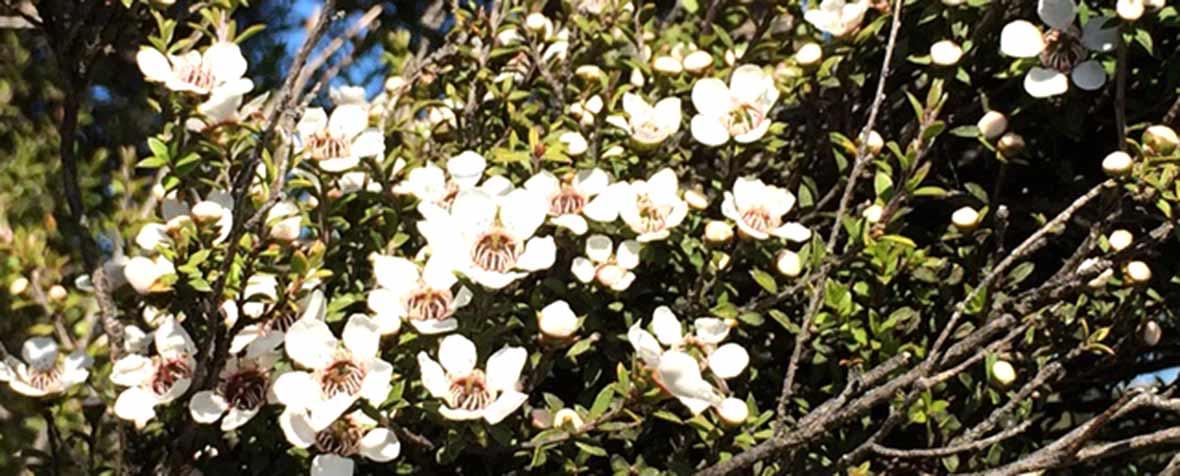 日新蜂蜜株式会社の原料マヌカはちみつ、商品名ニュージーランド産マヌカ蜂蜜