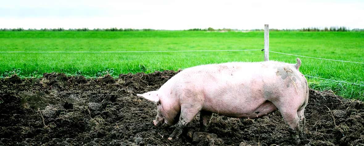 日本ハム株式会社の原料豚軟骨抽出物、商品名P-コンドロイチンNHZ
