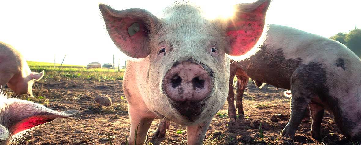 日本ハム株式会社の原料豚コラーゲンペプチド、商品名P-LAP